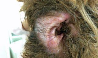 犬の外耳炎の症状