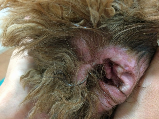 犬の外耳炎の治し方について
