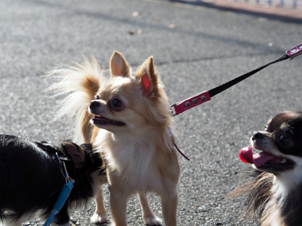 雌犬のフェロモンによってくる雄犬