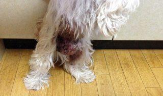 犬疥癬の症状