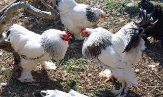 鶏 卵 動物