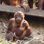 ミイラ オランウータン 赤ちゃん