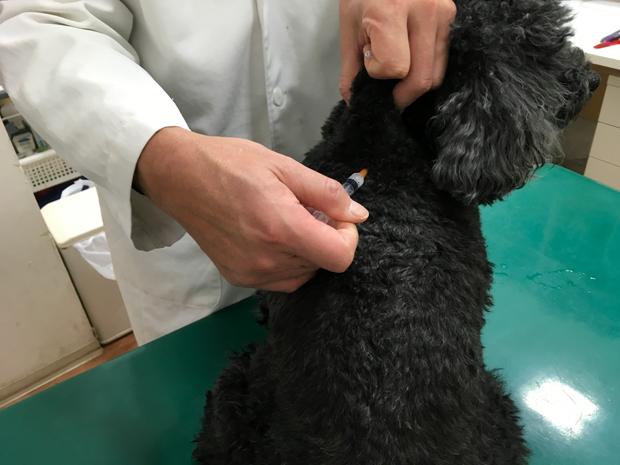狂犬病ワクチン接種後のお散歩