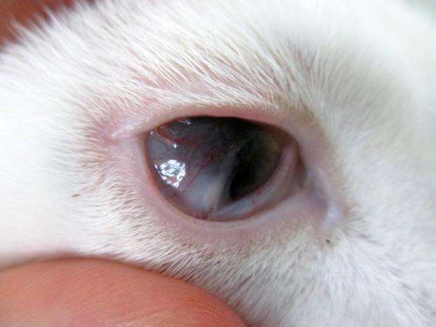 目が癒着している猫風邪の猫