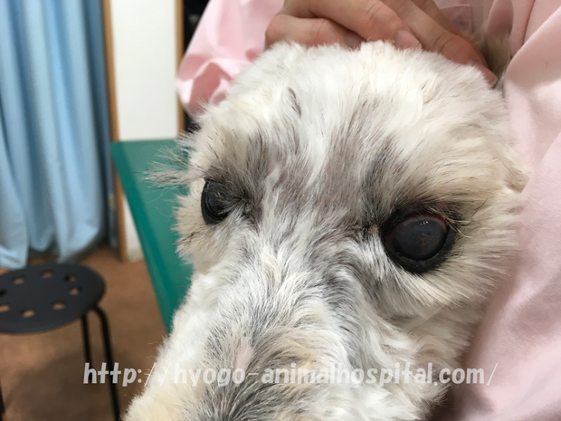犬 ドライアイ 症状