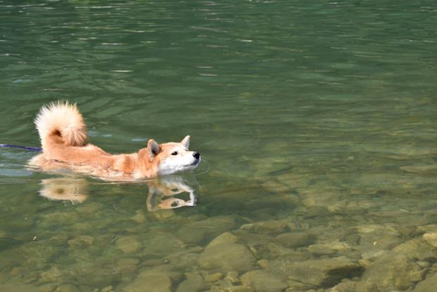 川遊びする犬