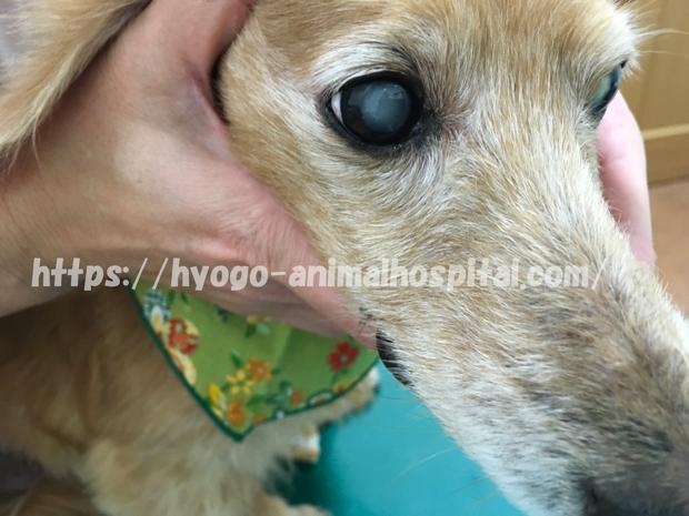 犬 角膜潰瘍 目薬