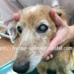 犬 クッシング症候群 手術