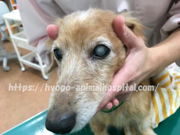 犬 核硬化症 白内障