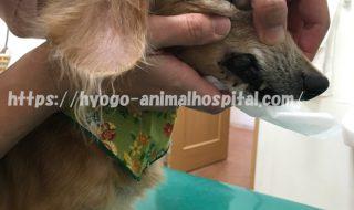 犬 メラノーマ 初期 症状