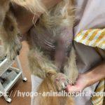 犬 膿皮症 原因