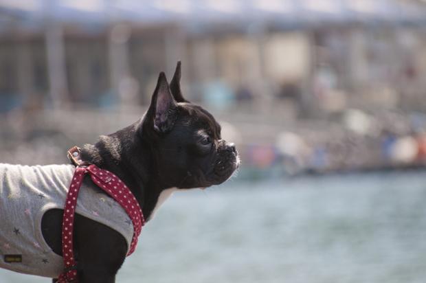 犬 アトピー性皮膚炎 服