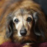 犬 生理痛 症状