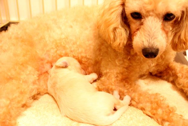 犬 出産 レントゲン