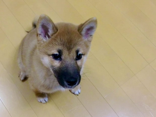 子犬 遊ぶ時間 2ヶ月 4ヶ月