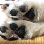 犬 肉球 ひび割れ 治療