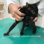 猫特発性間質性膀胱炎