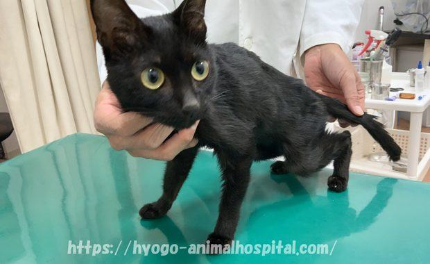 猫伝染性腹膜炎 治療法